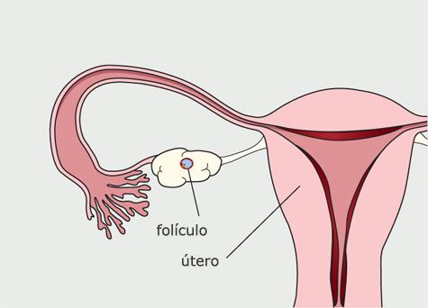 Diagrama del sistema reproductivo de la mujer. Se desarrolla un folículo y alcanza la madurez. El revestimiento del útero comienza a engrosarse.