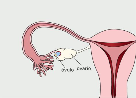 Diagrama del sistema reproductivo de la mujer. El folículo se rompe y libera un óvulo en el ovario.
