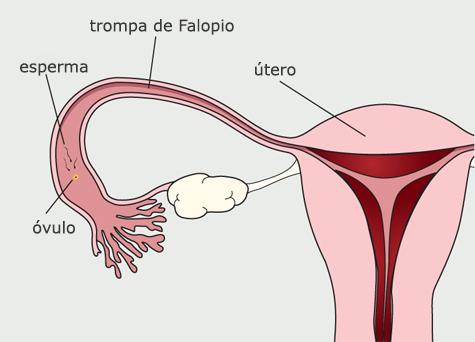 Diagrama del sistema reproductivo de la mujer. El óvulo de desplaza por la trompa de Falopio. Los espermatozoides ingresan a la trompa de Falopio y se acercan al óvulo.
